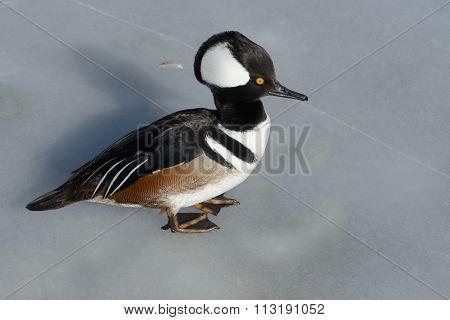 Hooded Merganser Duck on ice