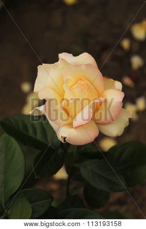 sincere pink rose