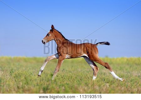 Beautiful little red foal in the sports field on a background of blue sky.