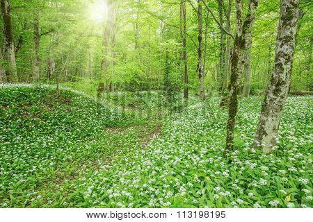 Wild Garlic In The Deep Forest.