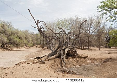 dead tree in the Ugab River, Namibia