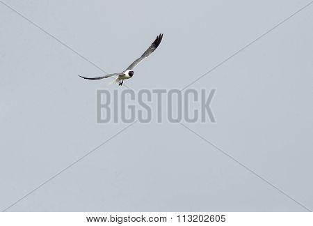 Laughing Gull Flight Wings High