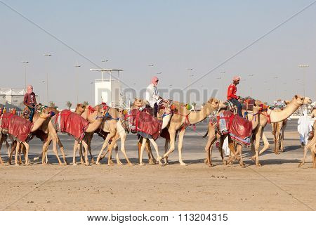 Race Camels In Doha, Qatar