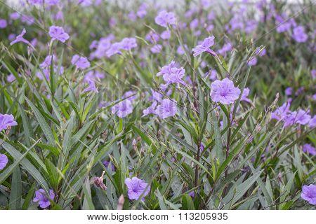 Ruellia Tuberosa Purple Flower