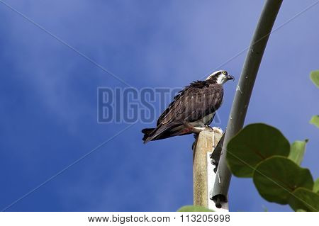 Alert Osprey Against Sky With Fish