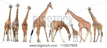 Group Of Giraffe Isolated