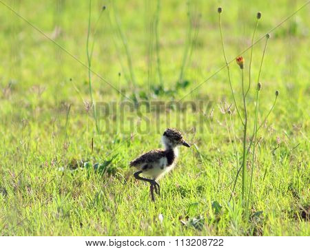 Baby Southern Lapwing