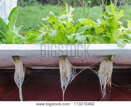 Hydroponics -vegetables Roots In Water