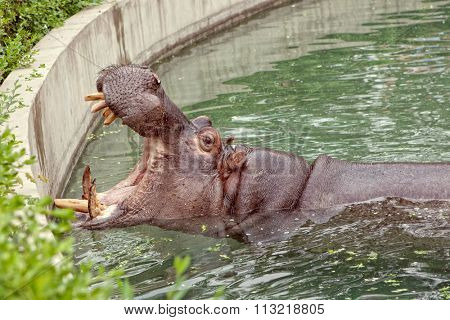 Hippopotamus. Hippo open his mouth in the water