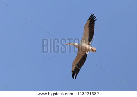 Flyingbig Bird, Seabird, Pelican On The Blue Sky