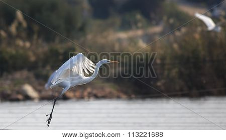 Flying White Big Egret. Flying Above Watter