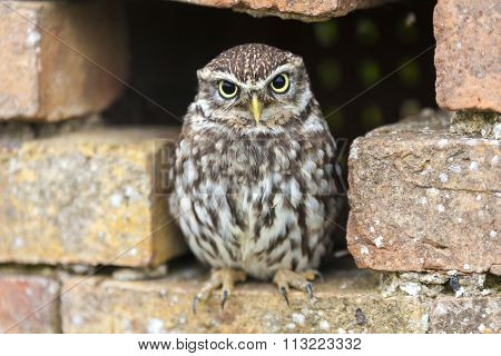 A Little Owl looking out from its hole in a wall
