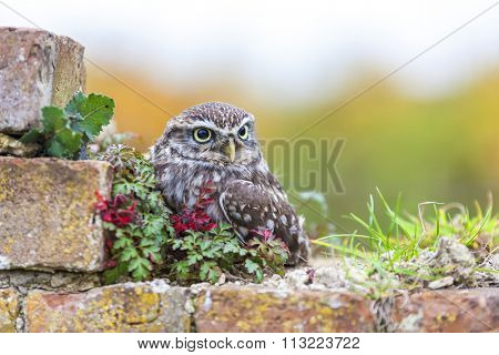 A Little Owl sitting on a wall