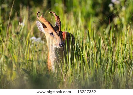 Male Barking Deer (muntjacs Or Mastreani Deer) On The Field