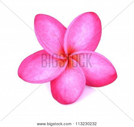 Pink Plumeria Flower On White Background