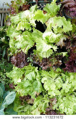 Vertically Cultivation Of Lettuce Vegetable Salad