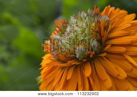 Calendula - Greenheart Orange Flower