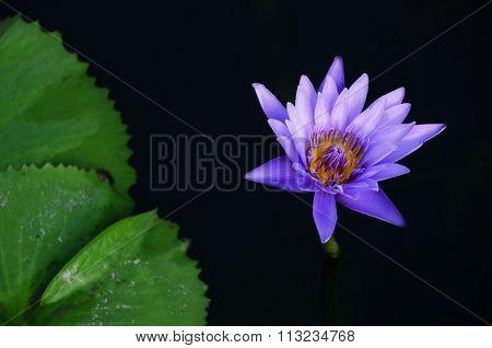Violet Lotus Water Lily