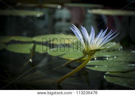 Blue Nile Waterlily (nymphaea Caerulea) Flower