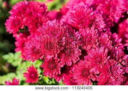 Pink Mums Flower Nature
