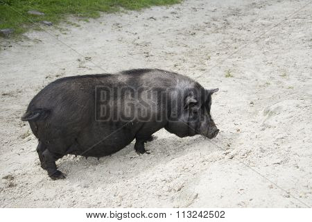 Summer Sunny Day Black Fat Pig.