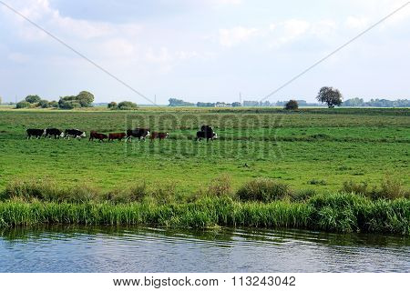 Cows, Single File, In Riverside Meadow