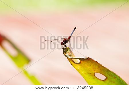 The red-veined darter or nomad (Sympetrum fonscolombii), dragonfly of the genus Sympetrum