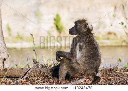 Chacma Baboon In Kruger National Park