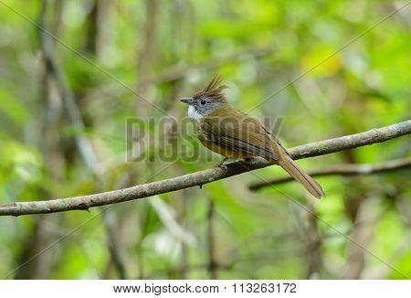 Puff-throated Bulbul (criniger Pallidus)
