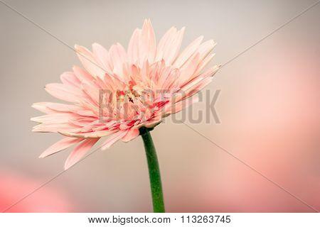 Beautiful Gerbera flower on the outdoor garden