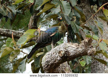 Female Green Peafowl (pavo Muticus)