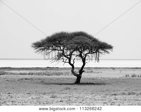 Lonely acacia tree in Etosha National Park