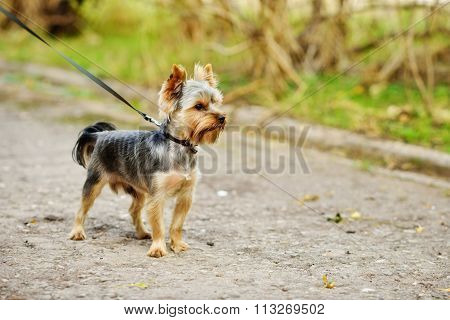 Yorkshire Terrier On The Walk