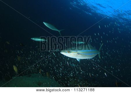 Sardines and Mackerel fish underwater in ocean