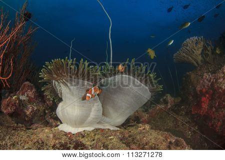 Anemone Clownfish coral reef