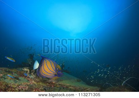 Coral reef and ocean with Blue-ringed Angelfish