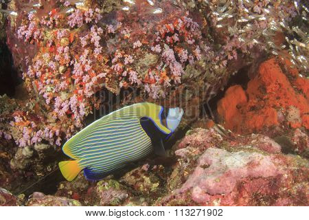Tropical fish coral reef: Emperor Angelfish