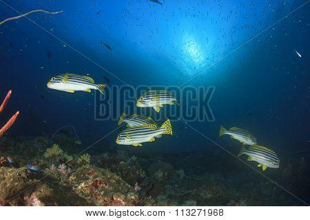 Beautiful coral reef underwater scene with Oriental Sweetlips fish in ocean
