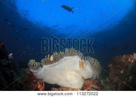Anemone and Clownfish underwater