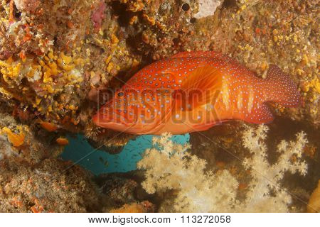 Coral Grouper fish trout cod red