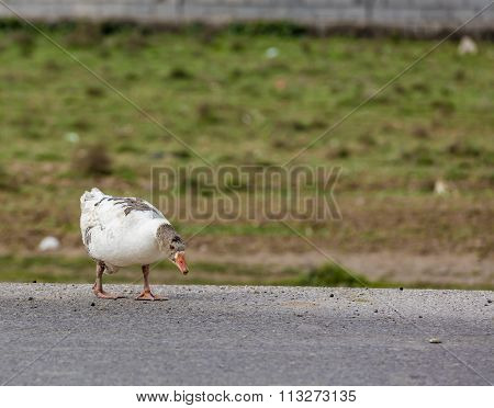 Duck in Iraq