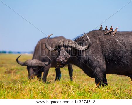 Grazing buffalos and birds sitting on them