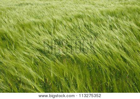 Wheat-land_background