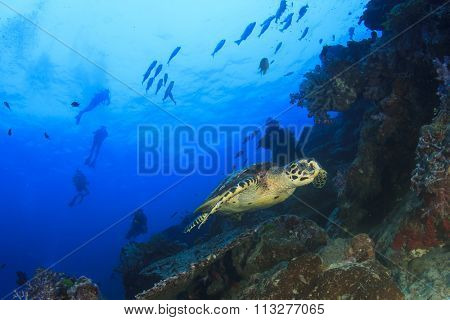 Hawksbill Sea Turtle and scuba divers on coral reef
