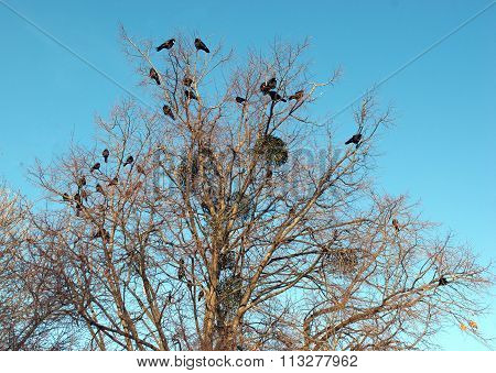 Birds Ravens Seated On A Tree