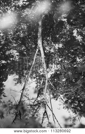 Tree reflected in a puddle