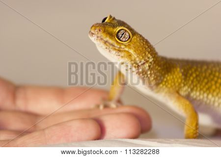 Cute Gecko Heating In Hands
