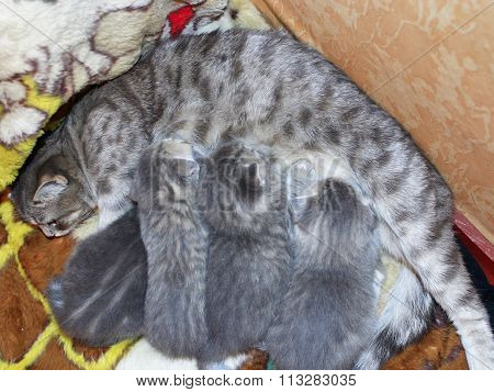 Cat With Newborn Kittens Of Scottish Straight Breed