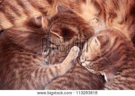 newborn kittens of Scottish Straight breed