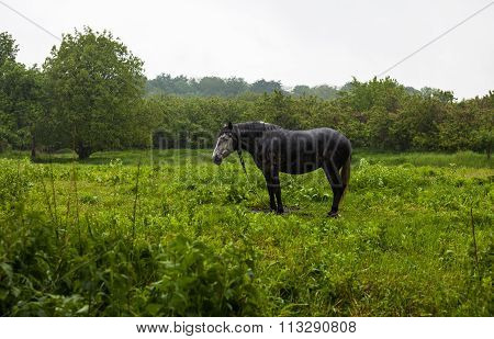 The Horse On A Leash Under The Rain